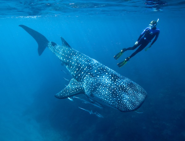 Ningaloo Reef swimming with whales sharks